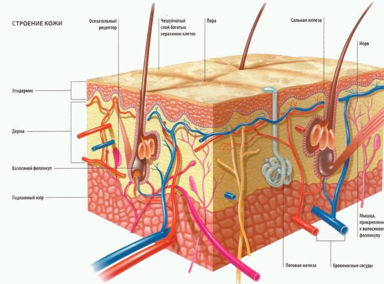 Рисунок строение кожи человека